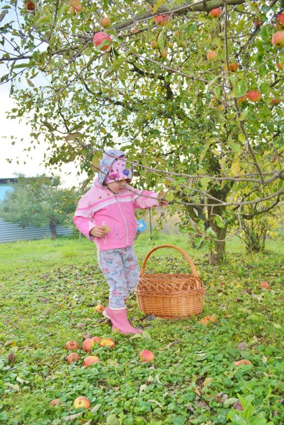 oberáme jablká